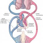 Figura 1. Esquema del Sistema Cardiovascular